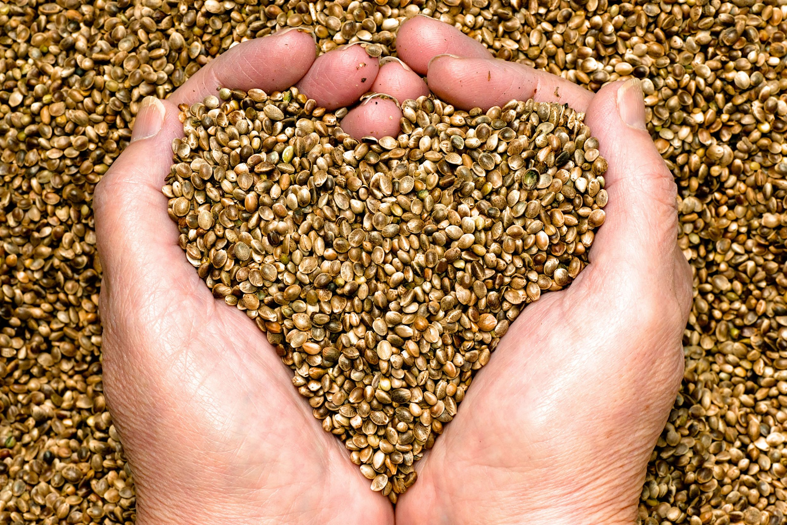 verified feminized hemp seeds in hands for wholesale purchases