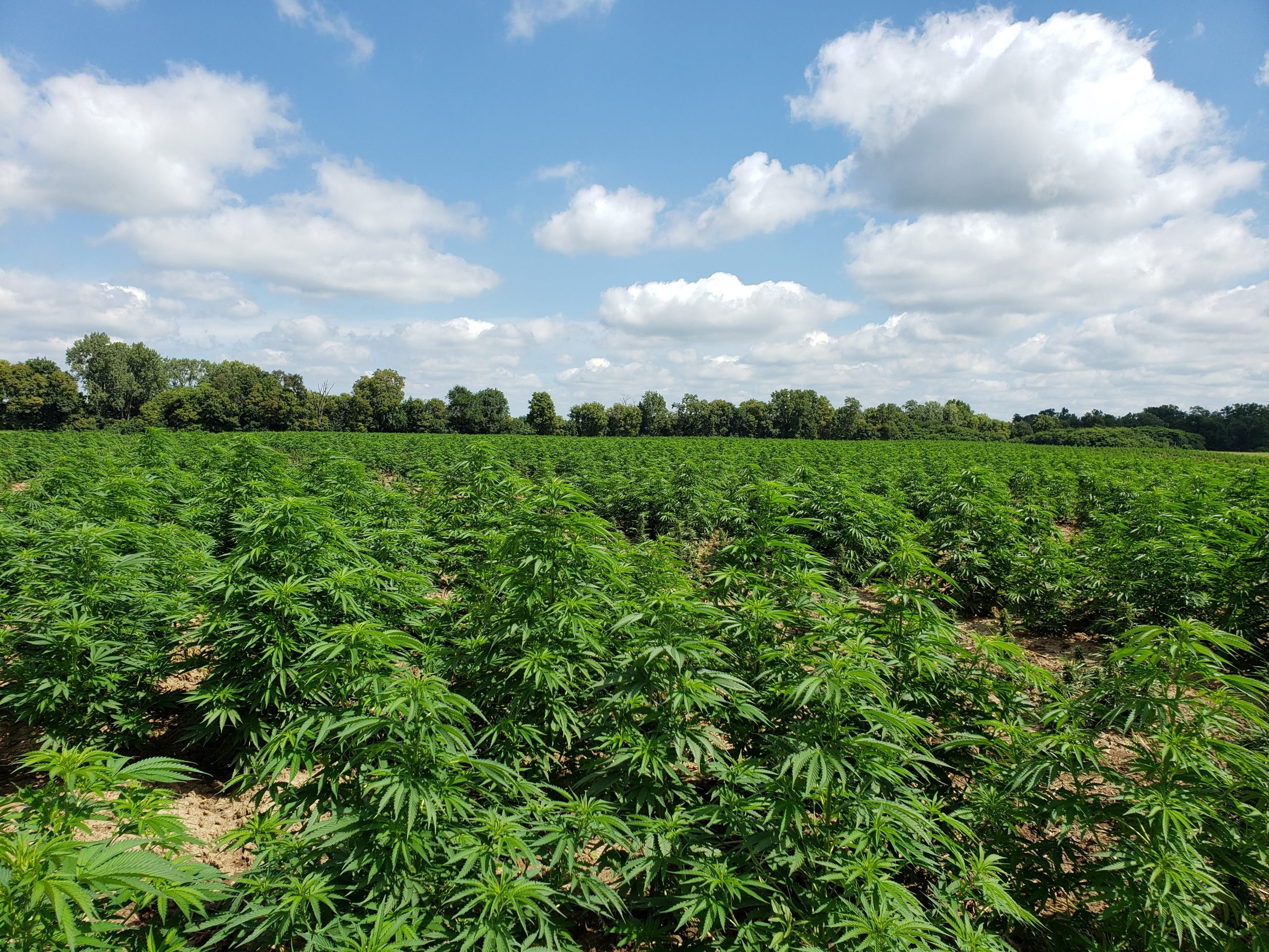 The Case for Increasing Hemp Limits to 1% THC